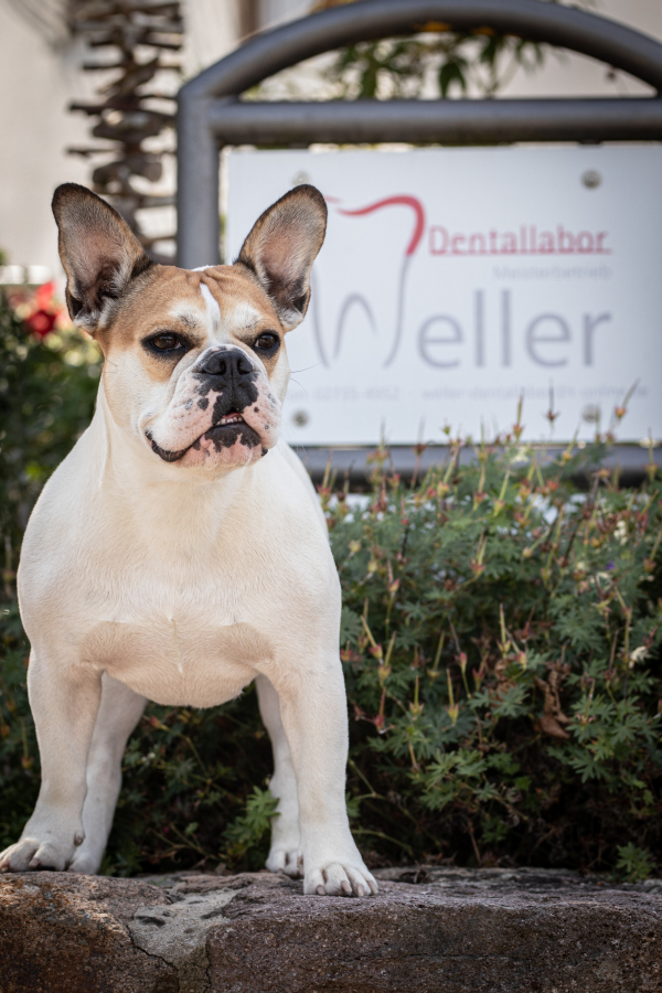Laborhund Lou - Dentallabor Weller Neunkirchen